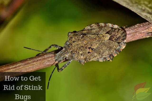 Get rid of stink bugs are stink bugs dangerous - How to get rid of stink bugs in garden ...