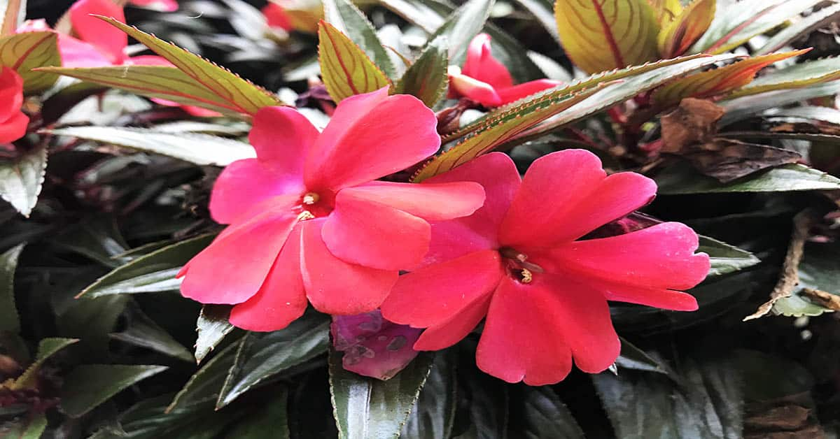 New Guinea Impatiens cae and info