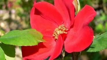 Altissimo Rose