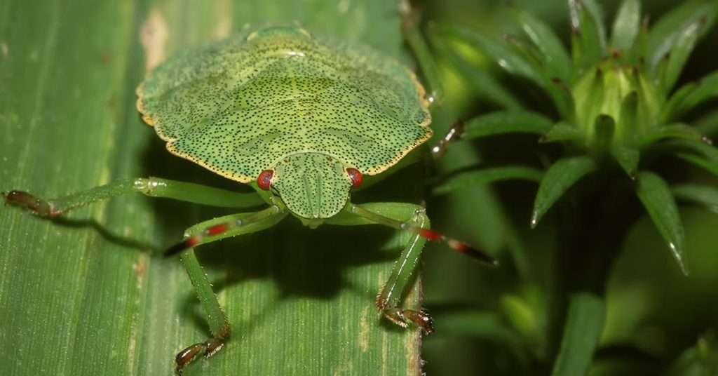 do stink bugs bite
