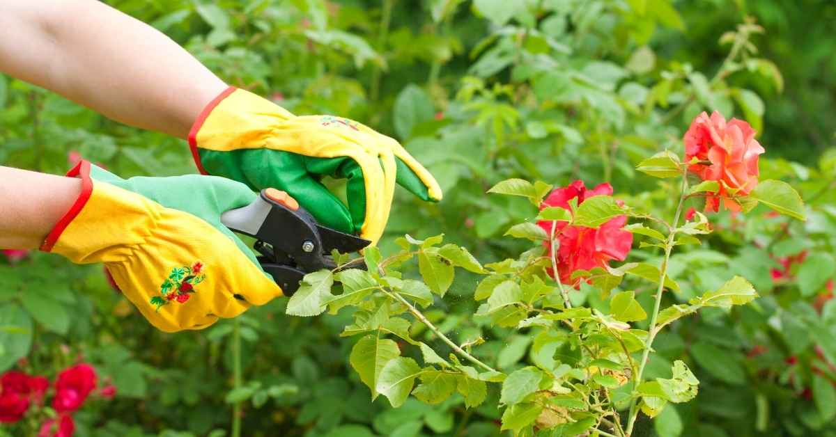 How to Prune and Deadhead Roses