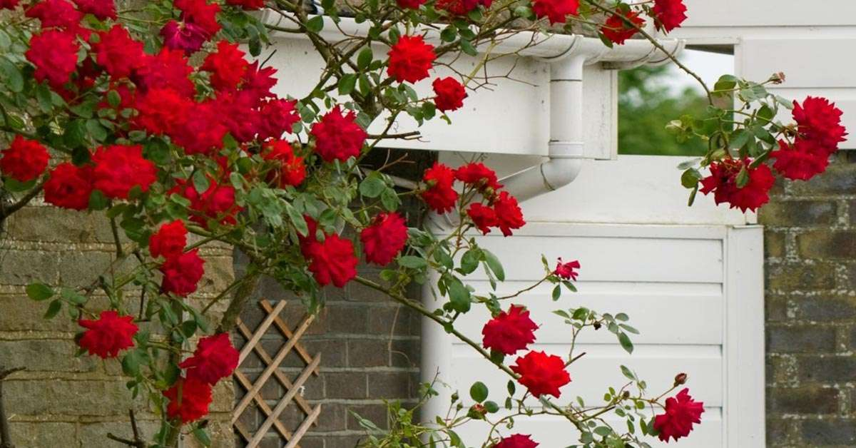 Fast Growing Roses
