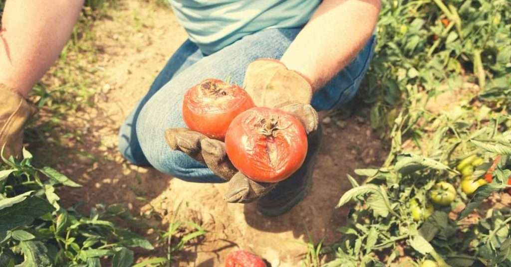 what is tomato blight