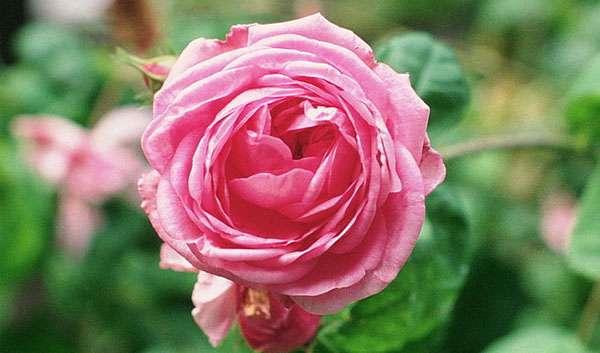 Bullata Rose