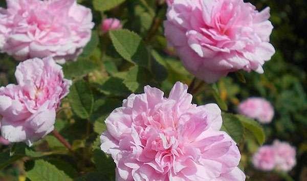 Rosa de Meaux Rose