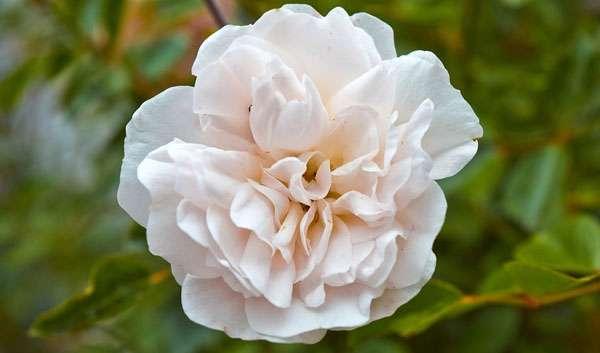 White Provence Rose