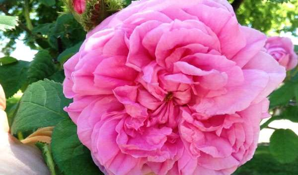 crested moss rose