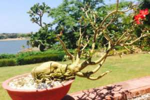 The History of Bonsai featured