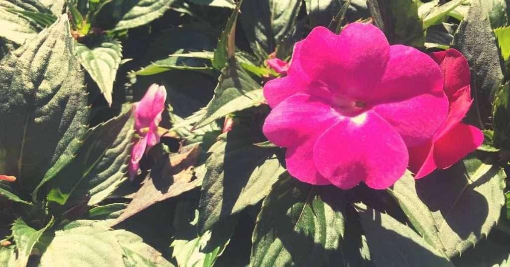 growing sunpatiens