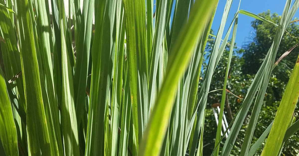 is lemongrass a perennial