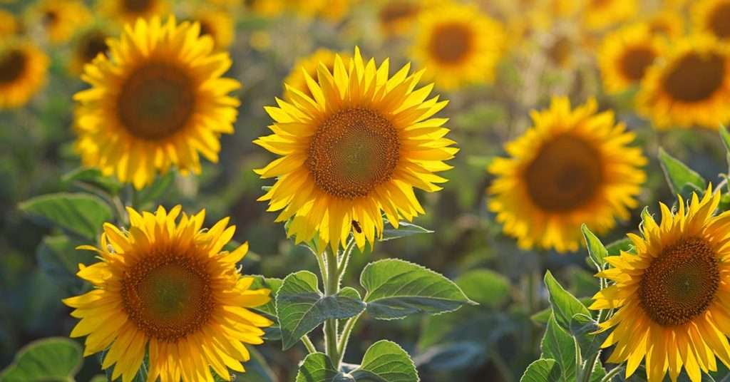 different types of sunflowers
