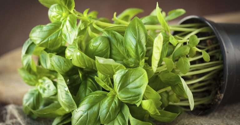 What Is Basil