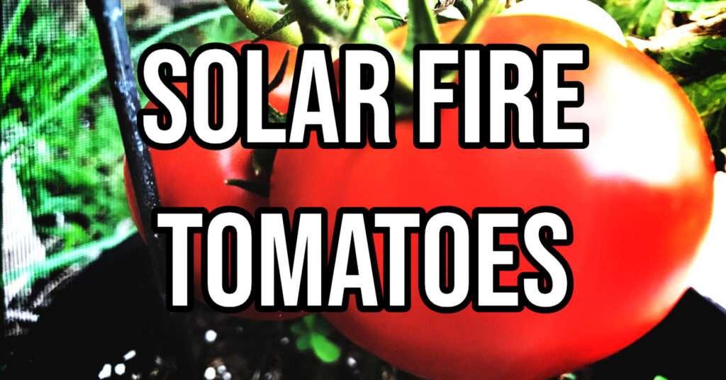solar fire tomato