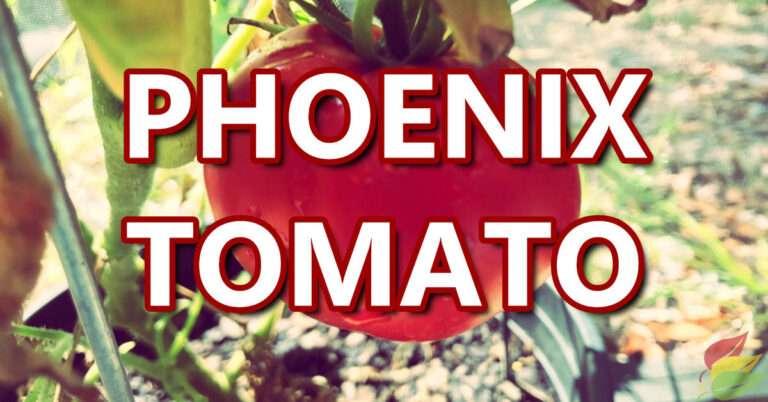 phoenix tomato