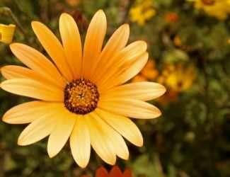 African Daisy perennial