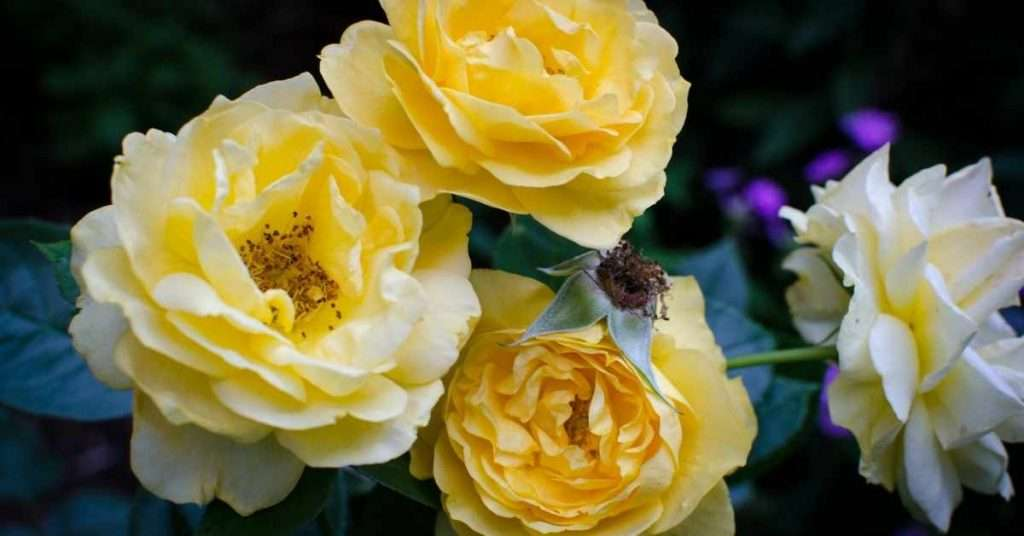 Julia Child's Rose