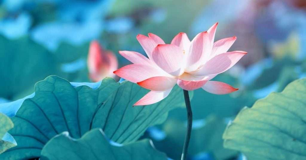 Lotus Flower Care and Info