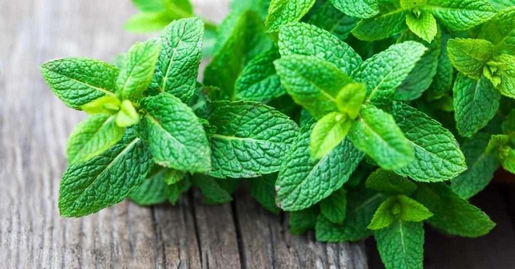 care for Lemon Balm plant