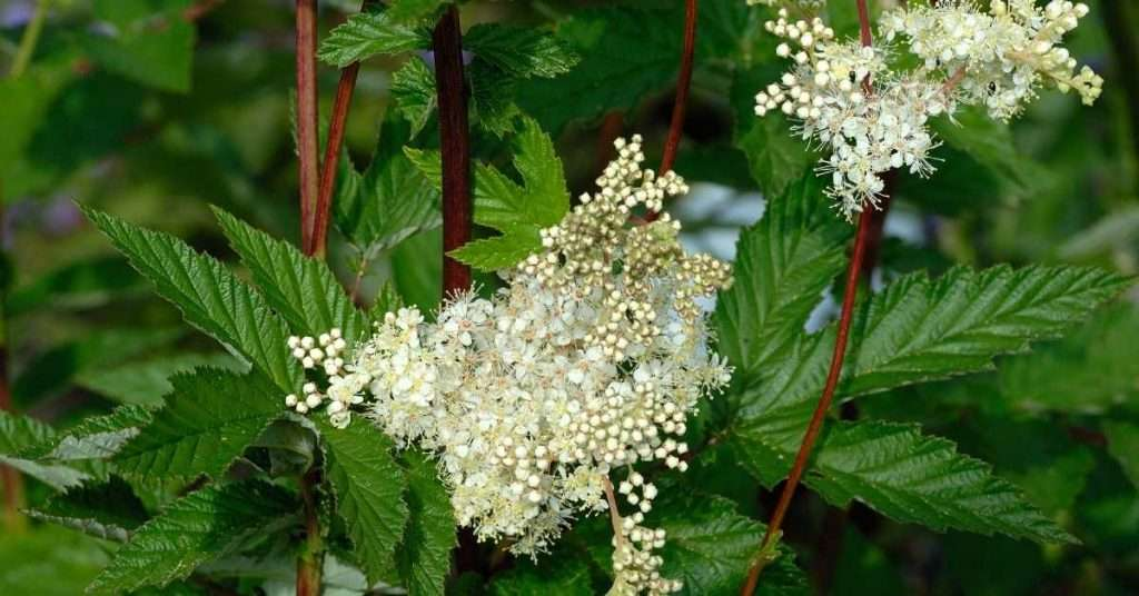 care for Meadowsweet plant