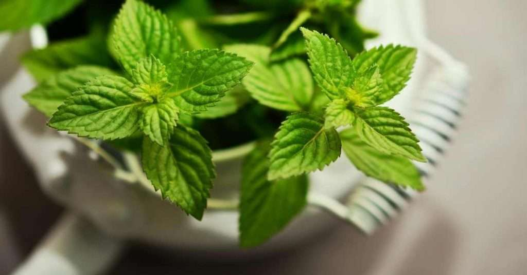 care for Mint plant
