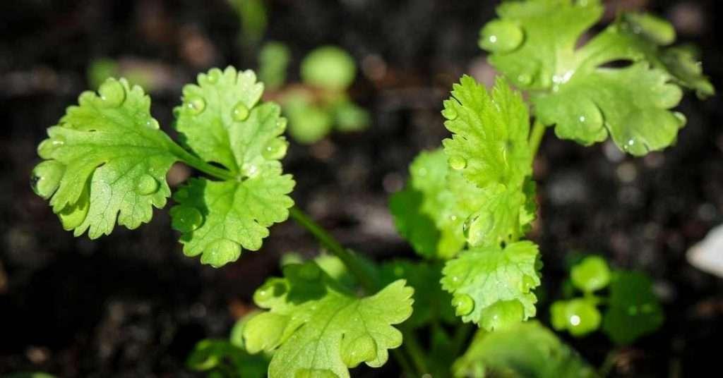 care for cilantro plant