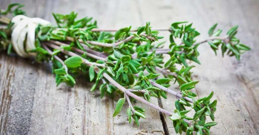 care for thyme plant
