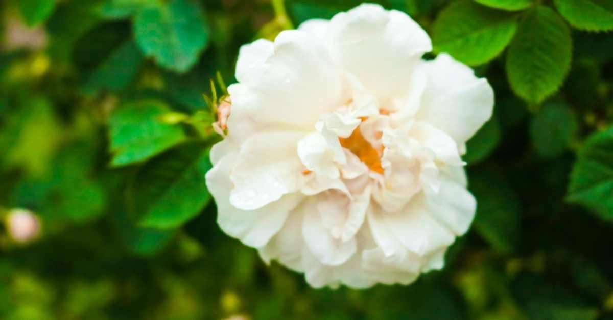The Iceberg Rose: Growing Guide