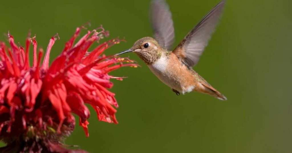 Bee Balm Hummingbirds