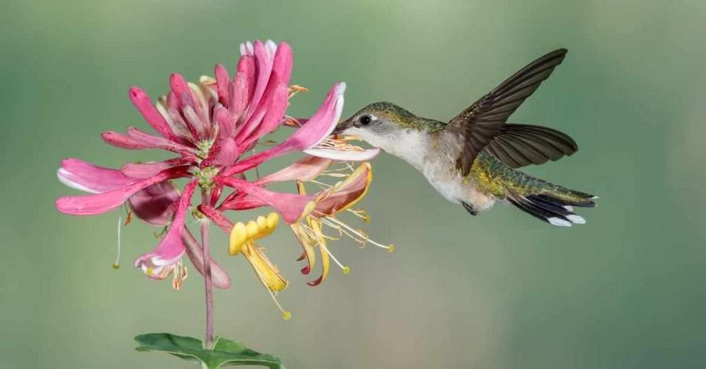 Honeysuckle  Hummingbirds