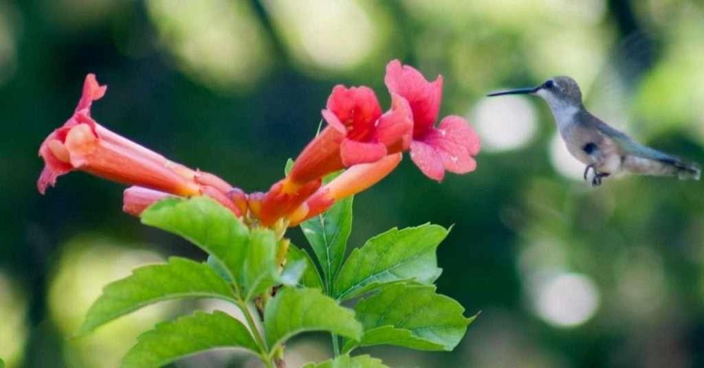 Trumpet Vine Hummingbirds